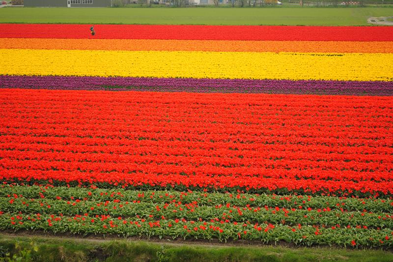 Pass through acres of multi-coloured tulips