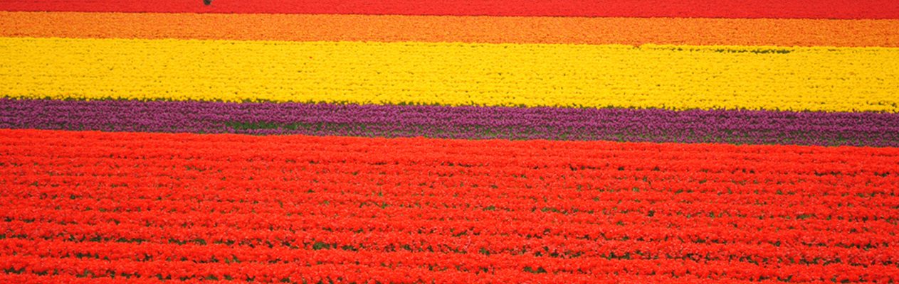 slide_0000_1-Pass-through-acres-of-multi-coloured-tulips